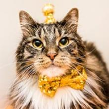 long hair tabby with crown